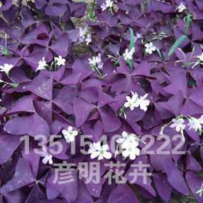 紫夜醡浆草