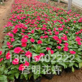 长春花(红)