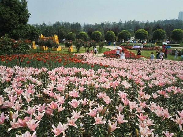 重庆南川区马鞭草花海种植680亩